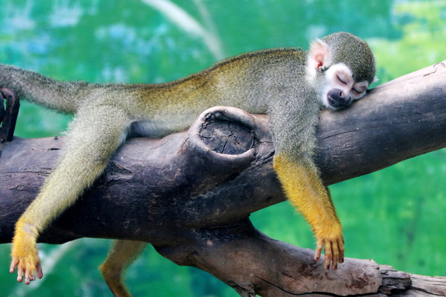 A squirrel monkey rests on a tree branch during a hot day at a zoo in Zhengzhou, Henan province, China July 19, 2017. (Photo by Reuters/China Stringer Network)