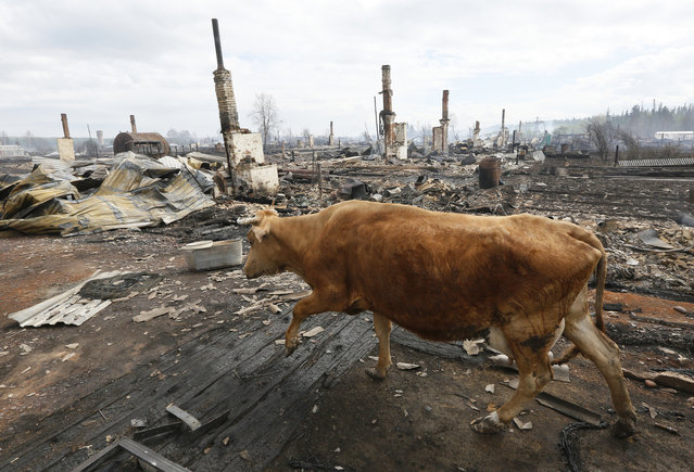 A cow walks amidst the debris of burnt houses after recent wildfires in the Siberian settlement of Strelka, located on the bank of the Angara River in Krasnoyarsk region, Russia, May 25, 2017. (Photo by Ilya Naymushin/Reuters)