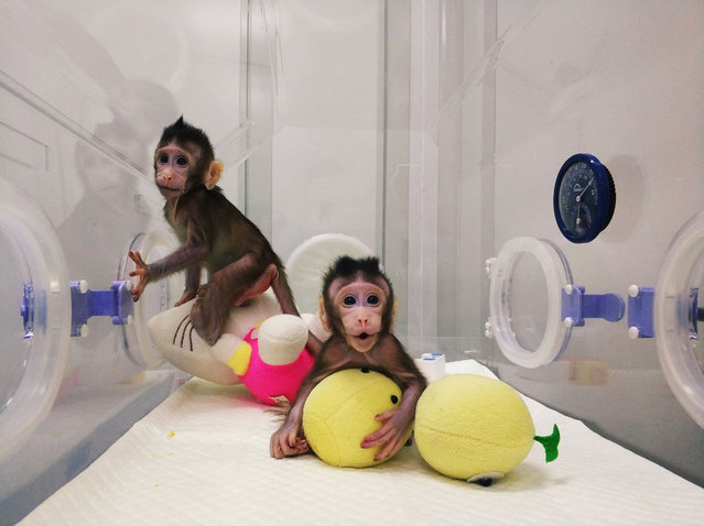 "This handout picture from the Chinese Academy of Sciences Institute of Neuroscience, taken on January 20 and released on January 24, 2018 shows monkey clones ""Zhong Zhong"" (L) and ""Hua Hua"" at a research institution in Suzhou in China' s Jiangsu province Scientists in China have created the first monkeys cloned by the same process that produced Dolly the sheep more than 20 years ago, a breakthrough that could boost medical research into human diseases. (Photo by AFP Photo/Picturedesk)"