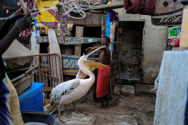 A boy plays with pelicans in Yoff, commune of Dakar, Senegal March 14, 2018. (Photo by Zohra Bensemra/Reuters)