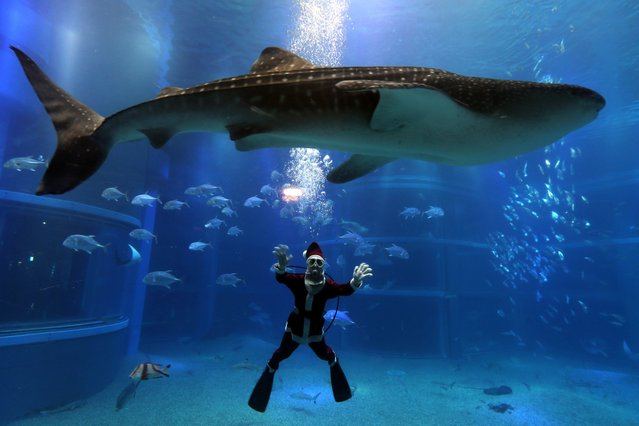 A Japanese diver dressed in a Santa Claus costume swims with a whale shark in the Pacific water tank at the Kaiyukan Aquarium, December 1, 2015, in Osaka, Japan. The Santa Diver Christmas show is held three times a day until Christmas Day to attract visitors. (Photo by Buddhika Weerasinghe/Getty Images)