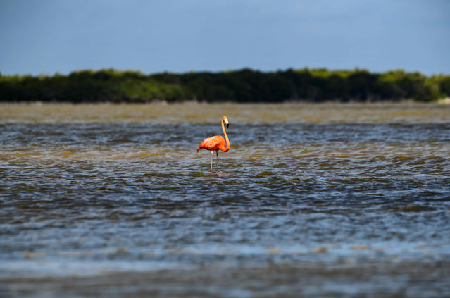 Pink flamingos (Phoenicopterus ruber) are pictured at the Rio Lagartos Biosphere Reserve, in Yucatan, Mexico on June 21, 2018. At least 21,960 nests were recorded in this nesting season, a historical figure according to Mexican authorities. (Photo by Ronaldo Schemidt/AFP Photo)