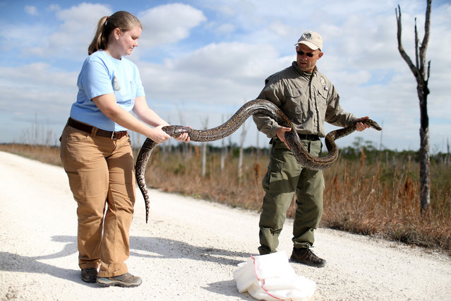 Jenny Ketterlin Eckles (L) a non-native Wildlife Biologist, and Edward Mercer, non-native Wildlife Technician, both with the Florida Fish and Wildlife Conservation Commission hold a North African Python during a press conference in the Florida Everglades about the non-native species on January 29, 2015 in Miami, Florida. (Photo by Lynne Sladky/AP Photo)