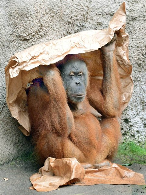 An orangutan protects himself from the sun by holding a paper above his head at the zoo in Leipzig, Germany, on July 28, 2013. (Photo by Waltraud Grubitzsch/EPA)