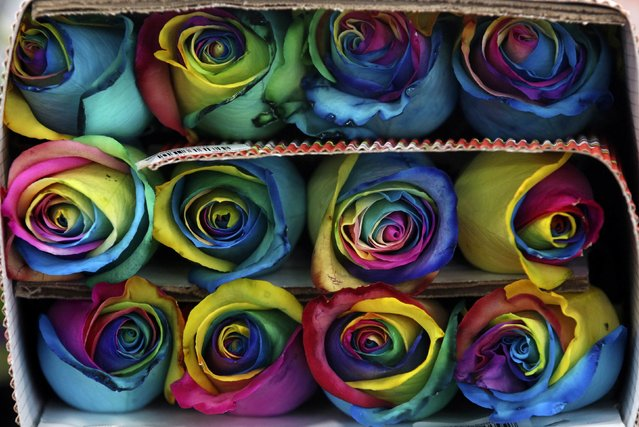 Colombian roses are selected for a bouquet ahead of Valentine's Day in Subachoque, February 2, 2015. (Photo by John Vizcaino/Reuters)
