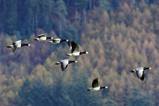 Barnacle geese fly above the RSPB Mersehead reserve on the Solway Firth, on October 15, 2018 in Dumfries, Scotland. Tens of thousands of barnacle geese return to the Solway each autumn from their breeding grounds in the Svalbard archipelago inside the arctic circle. (Photo by Ken Jack — Corbis/Getty Images)