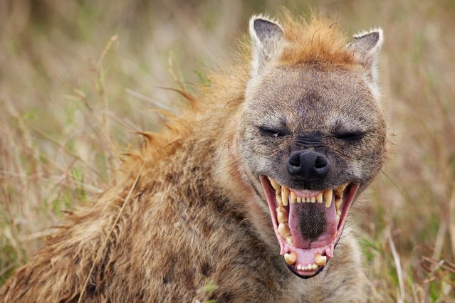 The torrential rain has failed to dampen the spirits of this hyena as he bursts into a hysterical laugh in Kenya, on Oktober 24, 2013. (Photo by Mark Bridger/Solent News & Photo Agency)