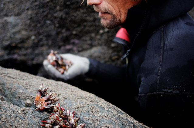 """Santi Diaz Mosquera, 41, a """"percebeiro"""" (barnacle fisherman), collects barnacles on the coast of Ferrol, in the northwestern Spanish region of Galicia, December 15, 2016. (Photo by Nacho Doce/Reuters)"""