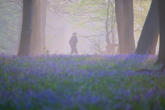 A patch of bluebells in Wanstead Park, east London, make for a pleasant view for this runner on April 21, 2021. (Photo by Stefan Rousseau/PA Images via Getty Images)