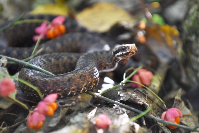 A common European adder snake (vipera berus) slithers among the pink flowers, Kyiv Region, central Ukraine on October 3, 2021. (Photo by Ukrinform/Rex Features/Shutterstock)