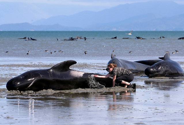 Volunteers try to assist some more stranded pilot whales that came to shore in the afternoon after one of the country's largest recorded mass whale strandings, in Golden Bay, at the top of New Zealand's South Island, February 11, 2017. (Photo by Anthony Phelps/Reuters)