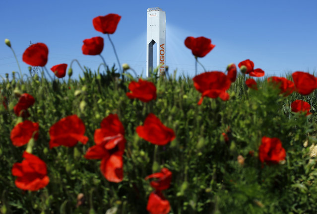 """A tower belonging to the Abengoa solar plant is seen behind poppies at the """"Solucar"""" solar park in Sanlucar la Mayor, near the Andalusian capital of Seville, southern Spain March 29, 2016. (Photo by Marcelo del Pozo/Reuters)"""