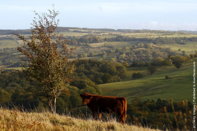 A cow grazes in the early morning sunlight on the upper slopes of Leckhampton Hill in the Cotswolds