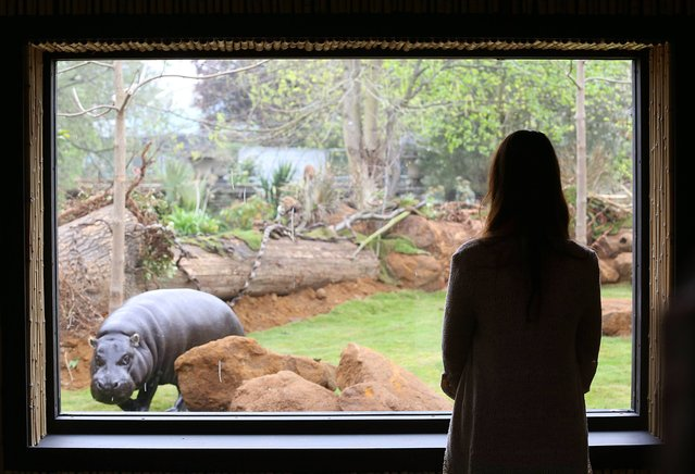 Thug, the 17-year-old pygmy hippo, explores his new enclosure in London Zoo in central London, on April 3, 2014. The new exhibit will be home to hippos Thug and 19-year-old Nicky, with heated pools and specially designed gardens. (Photo by Philip Toscano/PA Wire)