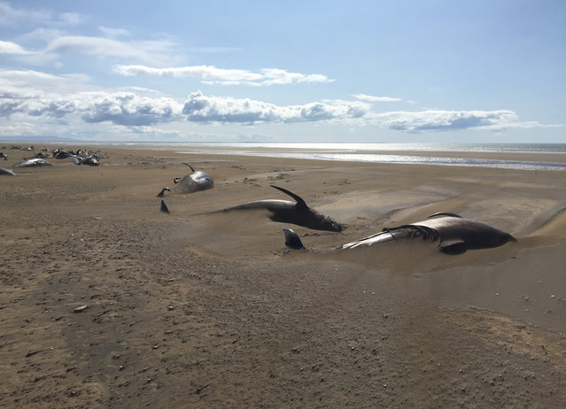 Some dozens of long-finned pilot whales lay dead on a remote beach in Iceland after they were discovered by tourists sightseeing in the Snaefellsnes Peninsula in western Iceland aboard a helicopter, Thursday July 18, 2019. The whales were concentrated in one spot on the beach, many partially covered by sand. (Photo by David Schwarzhans via AP Photo)