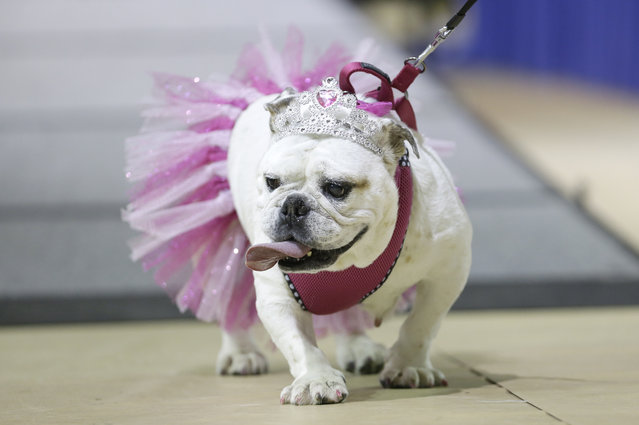 Gracie walks across the stage during judging at the 35th annual Drake Relays Beautiful Bulldog Contest, Monday, April 21, 2014, in Des Moines, Iowa. Gracie is owned by Carolyn Hofer, of Guttenberg, Iowa. (Photo by Charlie Neibergall/AP Photo)
