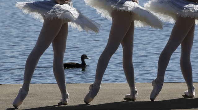 A duck paddles past three dancers from The Australian Ballet dressed in white swan tutus as they pose for photos on floating barge in Penrith Lake in Sydney, Australia, Friday, May 6, 2016. The Australian Ballet announced today it would hold perform on an open air stage on Lake Penrith in November 2016. (Photo by Rob Griffith/AP Photo)