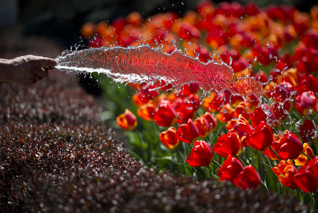 Auxilio Paniaqua, with Signature Landscape, gives a bed of red tulips a drink of water, Tuesday, April 22, 2014 in Kansas City, Mo. (Photo by David Eulitt/AP Photo/The Kansas City Star)