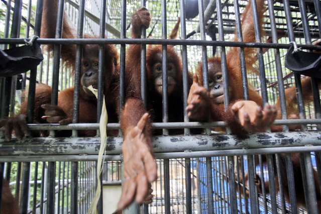 Sumatran orangutans sit inside a holding cage at Sumatran Orangutan Conservation Programme's rehabilitation center in Kuta Mbelin, North Sumatra, Indonesia, Friday, July 10, 2015. (Photo by Binsar Bakkara/AP Photo)