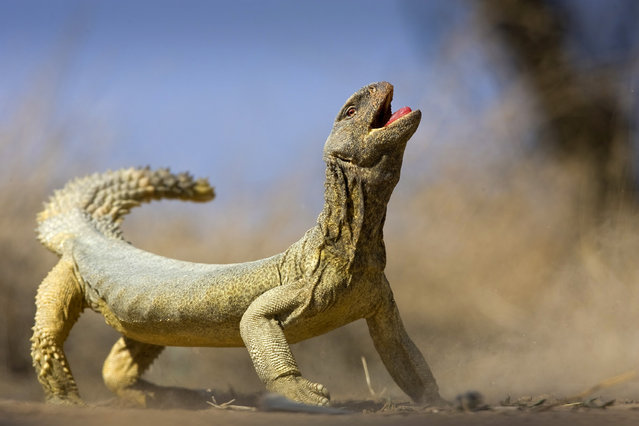 """A lizard"". A Big lizard. Photo location: Kuwait. (Photo and caption by Khaleel Haidar/National Geographic Photo Contest)"