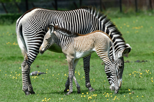 A Grévy's zebra and new-born foal in Whipsnade, UK on May 26, 2016. (Photo by Tony Margiocchi/Barcroft Images)