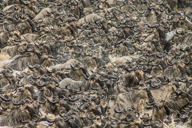 """""""Chaos"""". I was woken at 7am by the sound of 5000 mewing wildebeest readying themselves to cross Kenya's Mara River. I grabbed my camera and ran down to the riverside to watch the scene unfold. It was terrifying, breathtaking and totally disturbing. A moment I will never forget. Photo location: Masai Mara, Kenya. (Photo and caption by Kathrine Webb/National Geographic Photo Contest)"""
