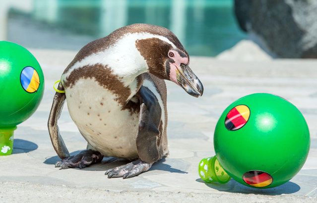 """Humboldt penguin """"Flocke"""", who lives in the swimming bath 'Spreewelten-Bad' in Luebbenau, prods the ball with the German flag from its plinth in Luebbenau, Germany, 08 June 2016. """"Flocke"""" is the UEFA EURO 2016 oracle of the Spreewelten-Bad and has predicted a victory of Germany against Ukraine. The UEFA EURO 2016 soccer championship takes place from 10 June to 10 July 2016 in France. (Photo by Patrick Pleul/EPA)"""