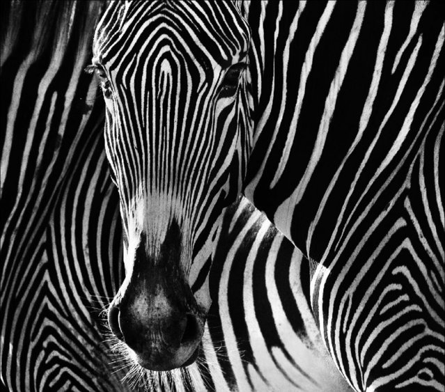 Undated David Yarrow handout photo of a zebra, as the self-taught wildlife photographer promotes his book, Encounter. (Photo by David Yarrow/Clearview/PA Wire)