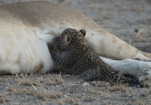 In this Tuesday, July 11, 2017 photo supplied by Joop van der Linde, a leopard cub suckles on a 5-year-old lioness in the Ngorongoro Conservation Area in Tanzania. In the incredibly rare sight, the small leopard, estimated to be a few weeks old, nurses in the photographs taken this week by a guest at a local lodge. (Photo by Joop van der Linde/Ndutu Safari Lodge via AP Photo)