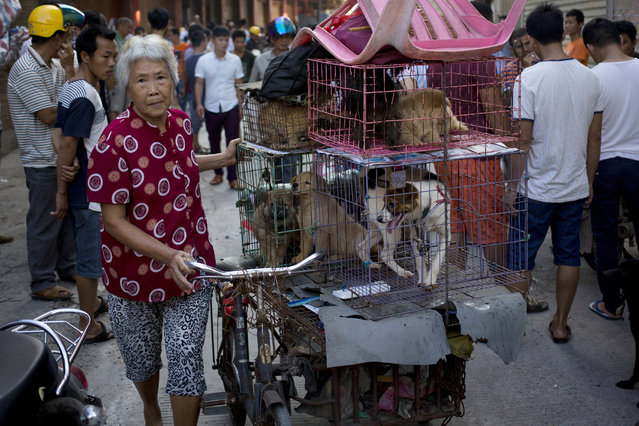 A woman with a load of dogs on her tricycle cart arrives at a market for sale during a dog meat festival in Yulin in south China's Guangxi Zhuang Autonomous Region, Tuesday, June 21, 2016. Restaurateurs are holding an annual dog meat festival despite international criticism. (Photo by Andy Wong/AP Photo)