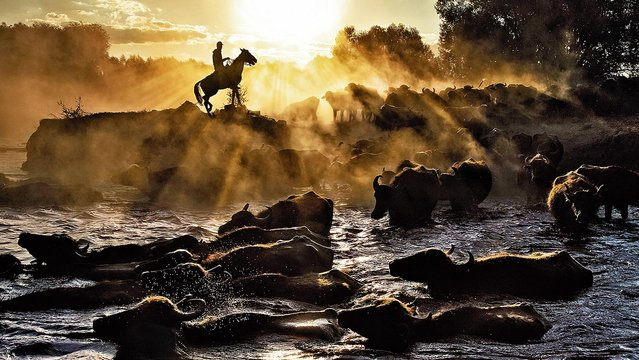 A horseman directs his herd of buffaloes through the water to cool down after a day's grazing on the plains of Kayseri province in central Turkey on March 31, 2020. (Photo by Nese Ari/Solent News)