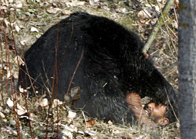 An Asiatic black bear mauls local villager Makhan Khan, who was with a group of men hunting the bear, near the village of Gasoo on the outskirts of Srinagar, November 2007. Khan suffered multiple injuries in the attack. (Photo by Danish Ismail/Reuters)