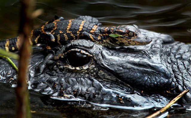 A baby alligator rests on its mother's head at the Loxahatchee Wildlife Refuge. (Photo by Allen Eyestone/The Palm Beach Post)