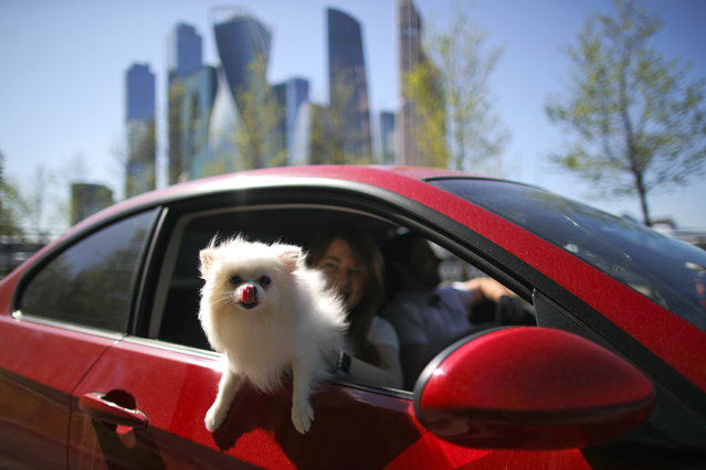 People with a dog ride a car on Naberezhnaya Tarasa Shevchenko Street in Moscow, Russia on May 11, 2020, during the pandemic of the novel coronavirus disease (COVID-19). Seen in the distance are the skyscrapers of the Moscow International Business Centre. Since 30 March 2020, Moscow has been in lockdown, which has been extended till 31 May. Earlier, the Russian government announced a nationwide paid period off work for employed people, which was extended till the 11 May inclusively. As of 11 May 2020, Russia has reported more than 221,400 confirmed cases of the novel coronavirus infection, with more than 115,900 confirmed cases in Moscow. (Photo by Sergei Bobylev/TASS)