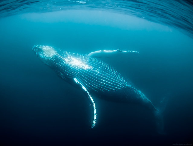 """""""Humpback whale showing his belly, Wild Coast, South Africa. Humpbacks are without doubts the most photogenic whale specie. They have unusually long pectoral fins which they like to put to use while showing various acrobatic stunts on the surface or in the water. They like to breach throwing themselves completely into the air with just several movements of the powerful tail. Finally they are incredibly talented singers too, with their songs bearing very complex nature and serving various ritual and communication purposes. This image was taken in July in South Africa – when one friendly specimen decided to stick with us for about 50 minutes, showing off his beautiful underwater dance"""". (Alexander Safonov)"""