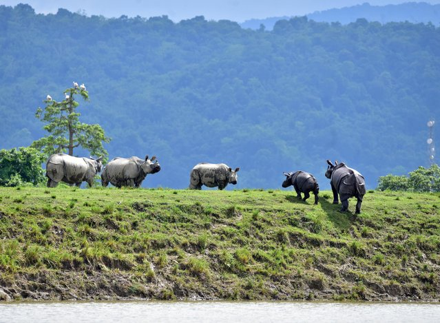 One-horned rhinos move to higher grounds in the flood-affected area of Kaziranga National Park in Nagaon district, in Assam, July 16, 2020. (Photo by Anuwar Hazarika/Reuters)