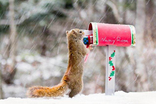 Squirrel Humour By Nancy Rose