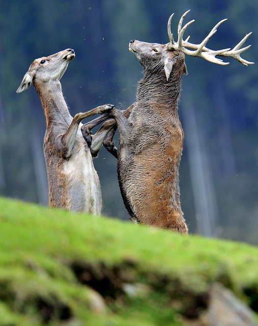 Two stags fight in a wildlife park in Aurach near Kitzbuehel, in the Austrian province of Tyrol. (Photo by Kerstin Joensson/Associated Press)