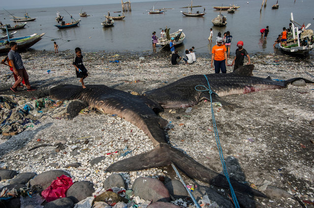 Indonesian people look at two dead whale sharks in Surabaya on October 26, 2015, after they were accidentally snared by fishermen. Indonesia in 2013 declared the whale shark a protected species, including it in the International Union for Conservation of Nature's red list of threatened species. Despite their mammoth size, these docile sharks, the largest fish in the sea, are filter feeders and are harmless to humans. (Photo by Juni Kriswanto/AFP Photo)