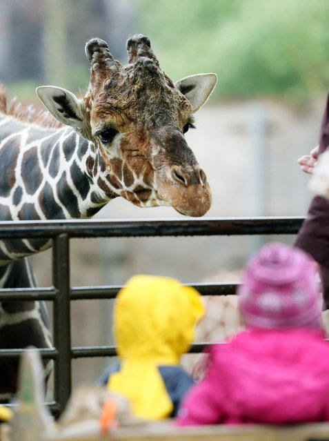 A giraffe has an eye on two little children at the zoo in Duisburg, Germany, 2 January 2015. At bad weather, the zoo's visitor volume is quite manageable. (Photo by Roland Weihrauch/DPA)