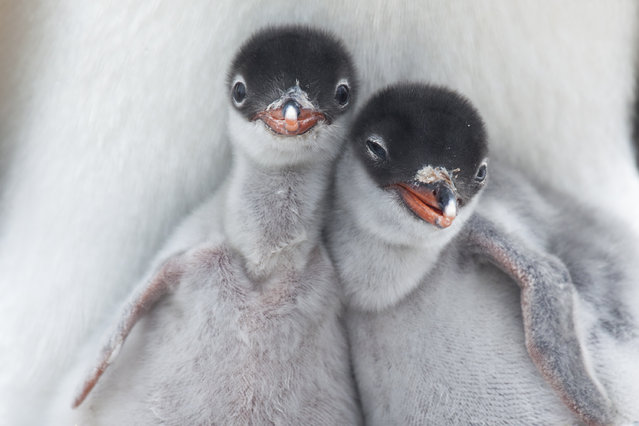 """Gentoo Chicks"". Two newly hatched Gentoo Penguin chicks get their first glimpse at the Antarctic wilderness. Location: Port Lockroy, Antarctic Peninsula. (Photo and caption by Richard Sidey/National Geographic Traveler Photo Contest)"