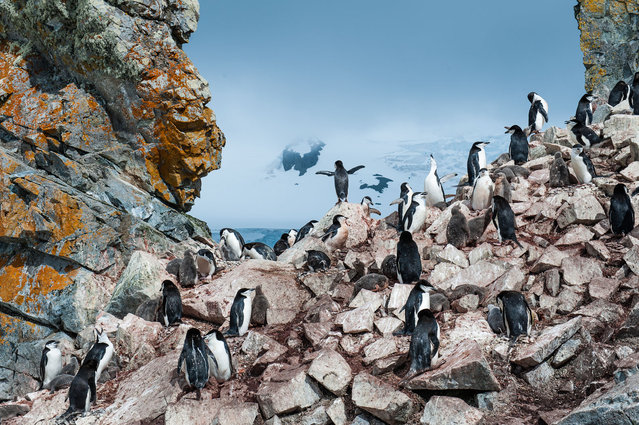 """King of the penquins"". Taken at Booth Island in Antartica. (Photo and caption by Nancy Dowling/National Geographic Traveler Photo Contest)"
