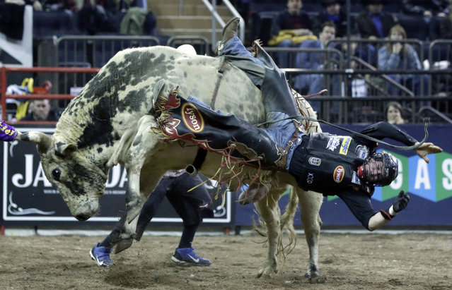 Chase Outlaw, of Hamburg, Ariz., dismounts Sun Dome during the Professional Bull Riders Buck Off, in New York's Madison Square Garden, Saturday, January 17, 2015. (Photo by Richard Drew/AP Photo)