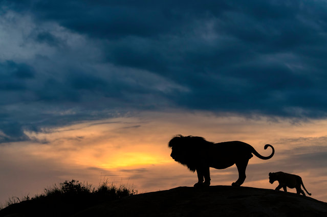 A lion and its cub appear like the famous scene fromthe Disney classic The Lion King as they sit on a rock and gaze into the evening sunset in Serengeti, Tanzania on May 17, 2018. (Photo by Marc Mol/Solent News)