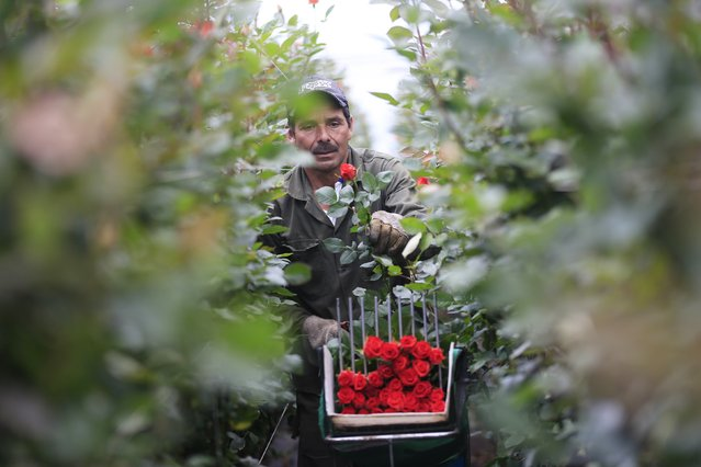 A Colombian flower grower cuts roses ahead of Valentine's Day in Facatativa, January 29, 2015. (Photo by John Vizcaino/Reuters)