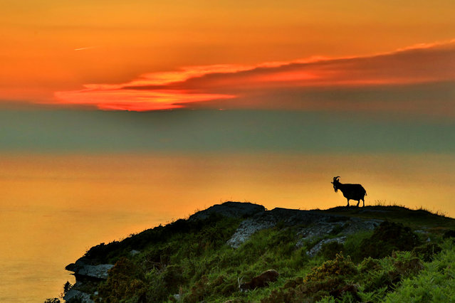 An Exmoor wild goat silhouetted in the sky over the Bristol Channel at the valley of the Rocks, North Devon, as the UK's heat wave continues on July 19, 2018. (Photo by Paul Silver/South West News Service)