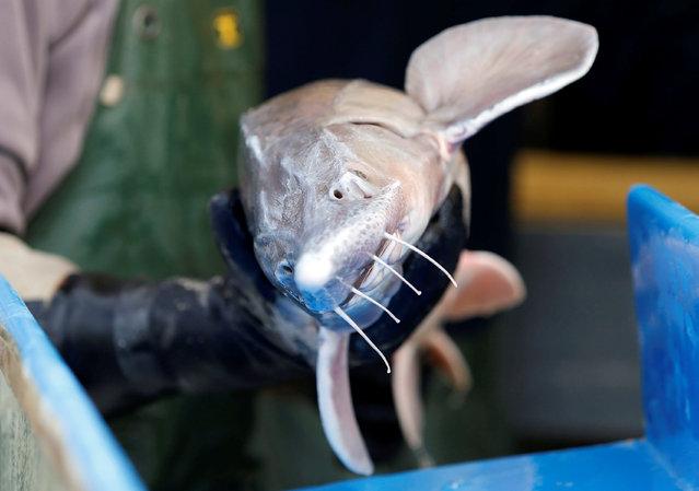 "An employee holds a female sturgeon at the caviar fish farming company ""Sturgeon"", the leading French producer, in Saint-Genis-de-Saintonge, France, November 8, 2016. (Photo by Regis Duvignau/Reuters)"