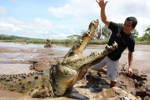 A tour guide dangles a piece of meat above the head of a crocodile on the banks of the Tarcoles river in Tarcoles, Costa Rica. (Photo and caption by Barcroft Media)