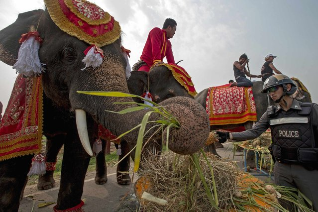A policeman feeds an elephant fruit during Thailand's National Elephant Day in the ancient Thai capital Ayutthaya March 13, 2015. (Photo by Athit Perawongmetha/Reuters)