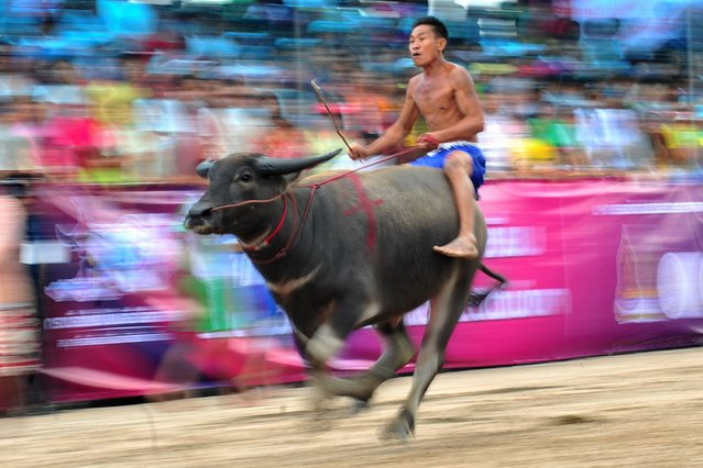 Thai buffalo racers compete during an Annual Buffalo Race in Chonburi Province, Thailand, on Oktober 22, 2013. The annual race was held as a celebration among rice farmers before the rice harvest. (Photo by Xinhua/Landov/Barcroft Media)